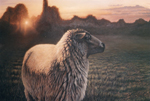 sheep oil painting